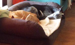 Warum kratzt mein Hund in seinem Bett?